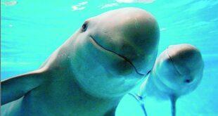 Drones inteligentes para rescatar a las vaquitas marinas